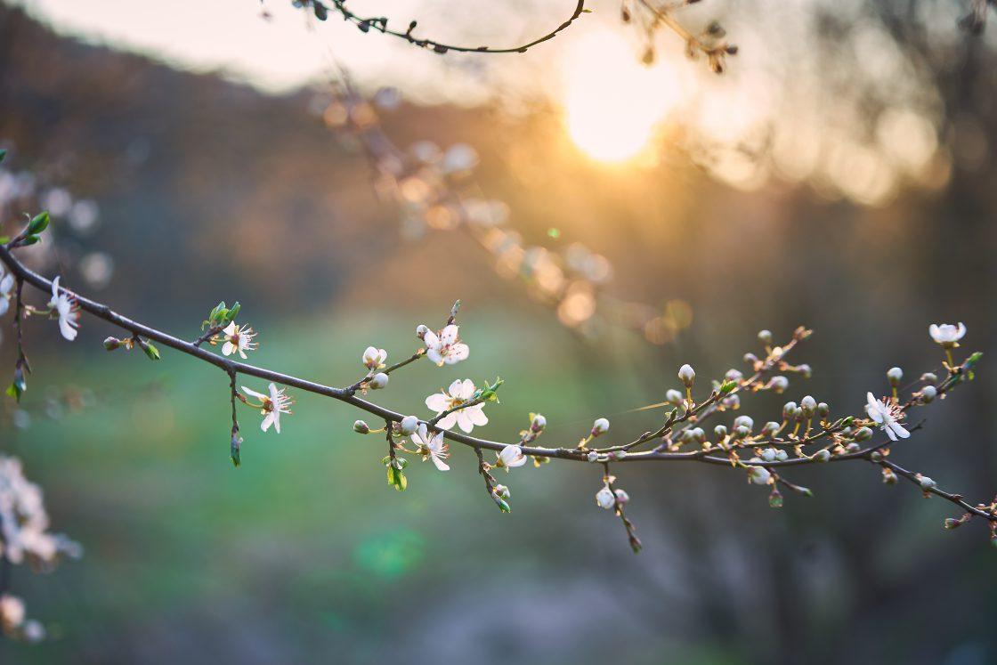 weiße blüten gegen das Sonnenlicht in nahaufnahme